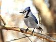 Blue Jay 0108.jpg