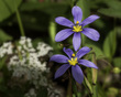 Blue-Eyed Grass - Sisyrinchium ensigerum 1701.jpg