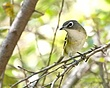 Blue-Headed Vireo 1210.jpg