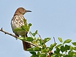 Brown Thrasher 10021.jpg