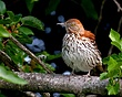 Brown Thrasher 1003.jpg