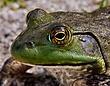 Bull frog 1001.jpg