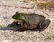 Bull frog 1002.jpg
