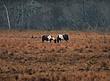 Chincoteague Ponies 1002.jpg