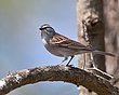 Chipping Sparrow 1301.jpg
