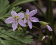 Claytonia virginica L - Springbeauty 1701.jpg