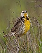 Eastern Meadow Lark 1102.jpg