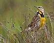Eastern Meadow Lark 1103.jpg