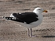 Great Black-Backed Gull 1201.jpg