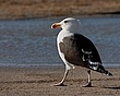 Great Black-Backed Gull 1202.jpg