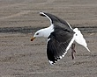 Great Black-Backed Gull 1203.jpg