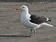 Great Black-Backed Gull 1204.jpg