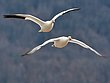 Greater Snowgeese 1302.jpg