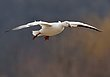 Greater Snowgeese 1303.jpg