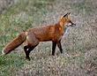 Red Fox 0804.jpg