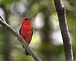 Scarlet Tanager 1004.jpg