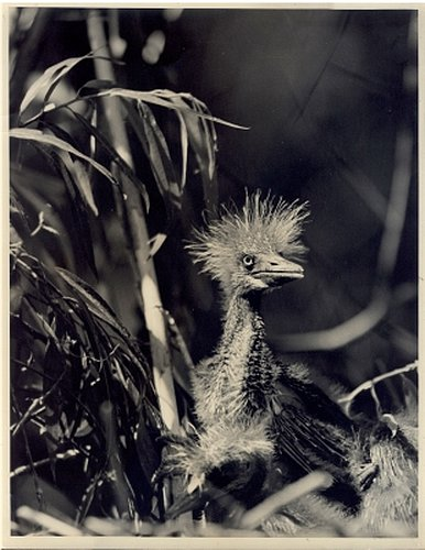 EVERGLADES 5-51 Baby blue heron in nest-mother in the morning 1937 SFOP.jpg