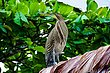 Bare-throated Tiger Heron.jpg