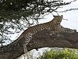 A Leopard in a Tree.jpg