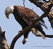 Guntersville Eagles  11.jpg