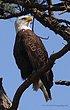 Guntersville Eagles  21.jpg