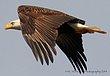 Guntersville Eagles  31.jpg