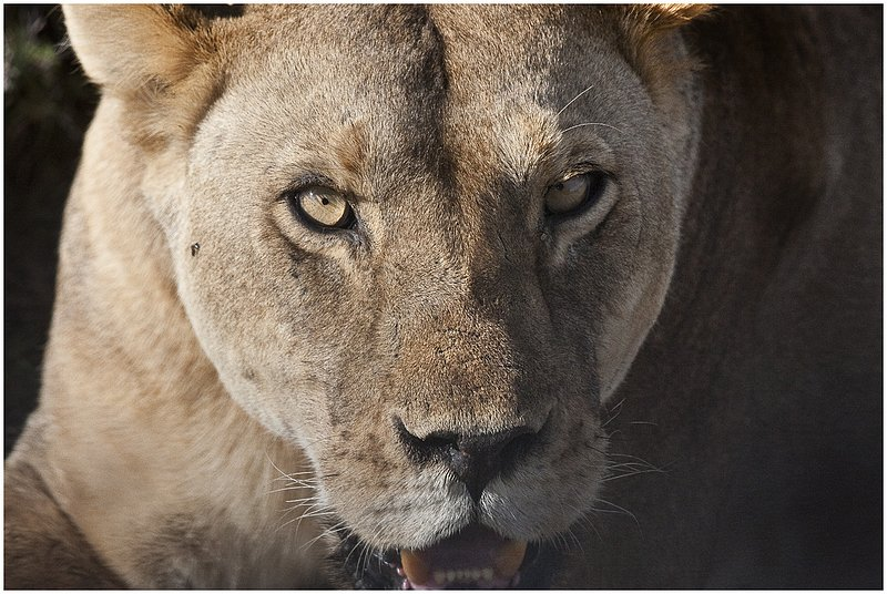 11Tanz.Seren.Lion_3386.jpg :: Serengeti, Tanzania