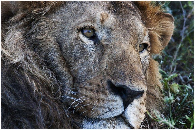 11Tanz.Seren.Lion_3482.jpg :: Serengeti, Tanzania