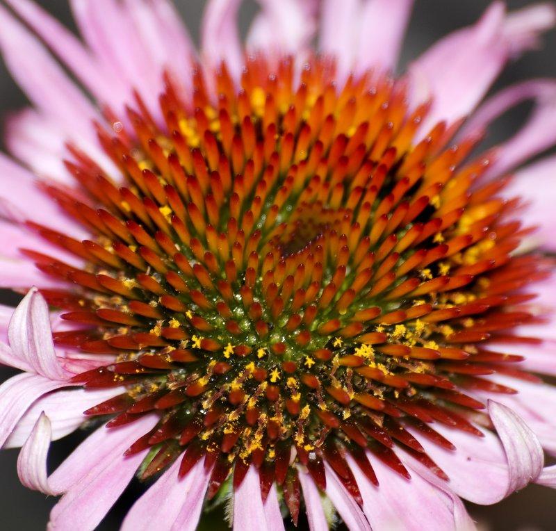 Cornflower Macro.jpg :: Macro of a Coneflower's center.