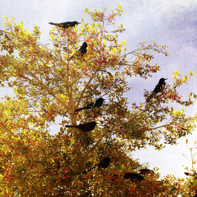 The Posse.jpg :: A gathering of Grackles.