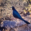 Great Tailed Grackle Cropped.jpg