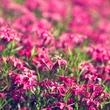 Through the Pink.jpg