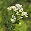 2366 -Flowers of W NFLD.jpg