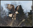 _MG_0014 -Bald Eagles -Port Williams.jpg