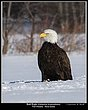 _MG_0088 -Bald Eagles -Port Williams.jpg
