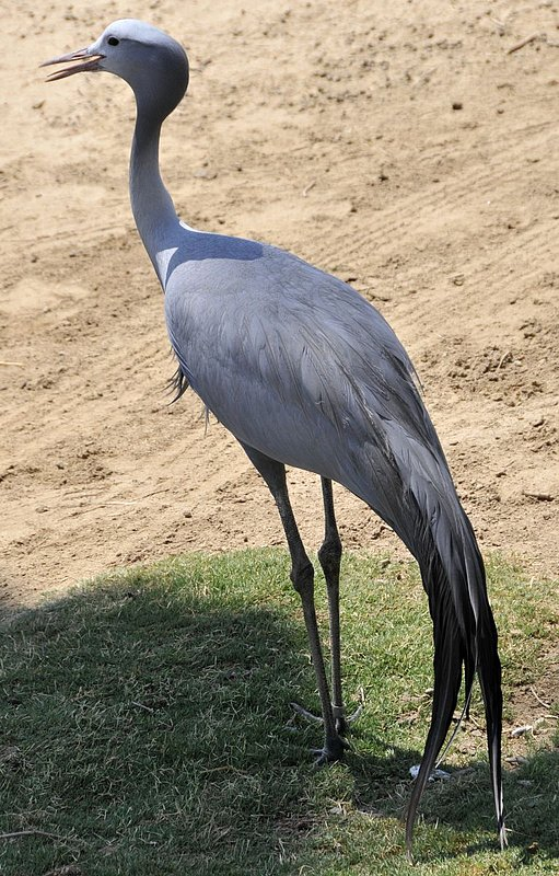 Birds-Blue Crane_ND32064e.jpg