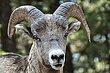 Bighorn Sheep 1.jpg