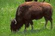 8F79 American Bison.jpg