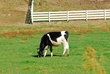 D8F-53-Dairy Cow.jpg