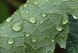 1M59 Grape Leaf.jpg