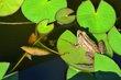 FX5F-2-Pond Frog.jpg