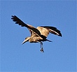 Hammerkop in flight at Abu Camp.jpg