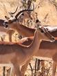 Male Impala and one of his harem - Botswana.jpg
