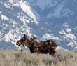 Molting moose by Grand Teton Mountain.jpg