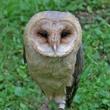 Owl at Medieval casatle.jpg