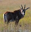 Roan Antelope.jpg