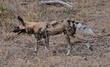 Wild dog hungrily hunting.jpg