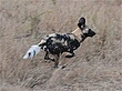 Wild dogs on the chase.jpg