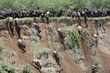 Wildebeest migration - crossing the Mara river.jpg