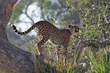 cheetah getting up high to look for prey.jpg